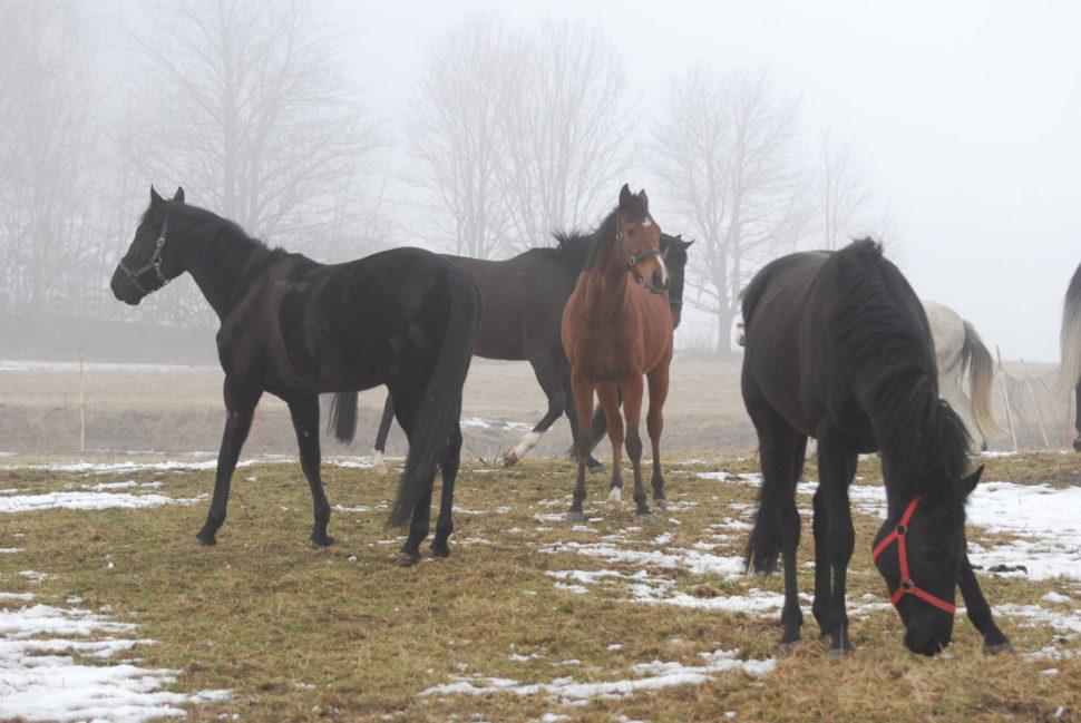 Dostihoví koně napastvě ve Světlé Hoře