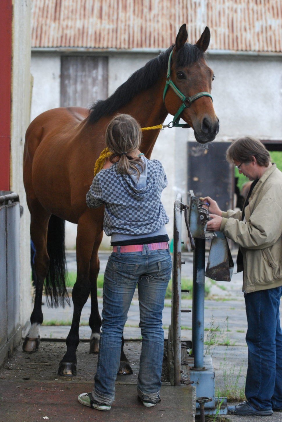 Vážení koní vdostihovém centru ve Světlé Hoře
