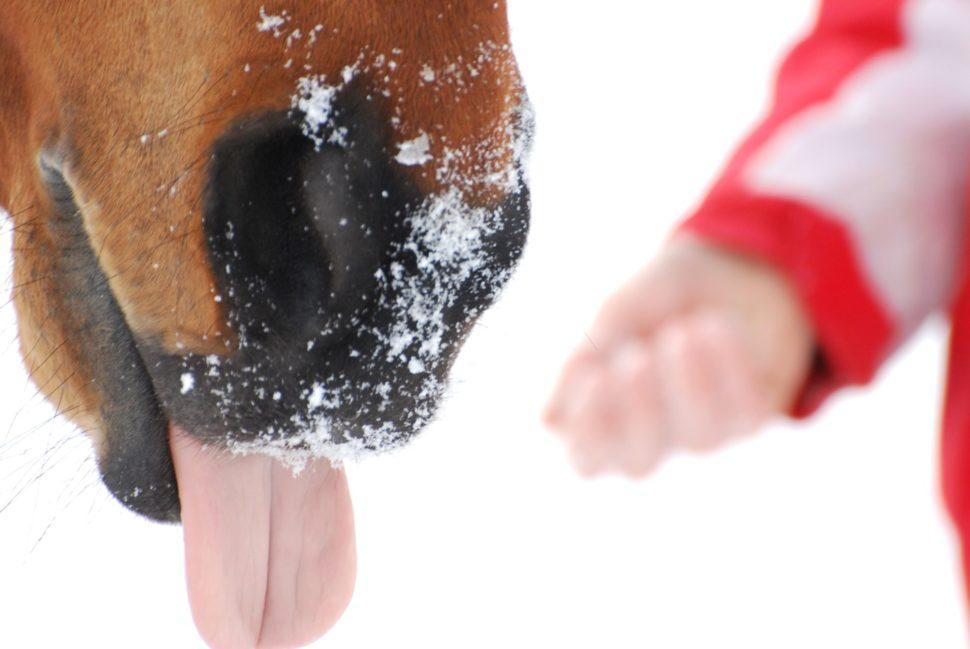 Kůň vyplazuje jazyk ve Světlé Hoře