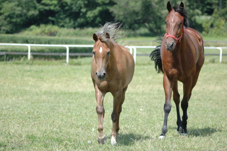 Pobyt koní napastvě je denní součástí života našich koní ve Světlé Hoře